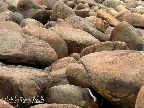 rocks and rock rabbits
