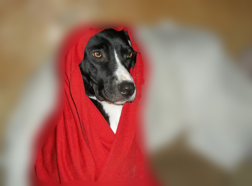 dog lady in red dog blanket