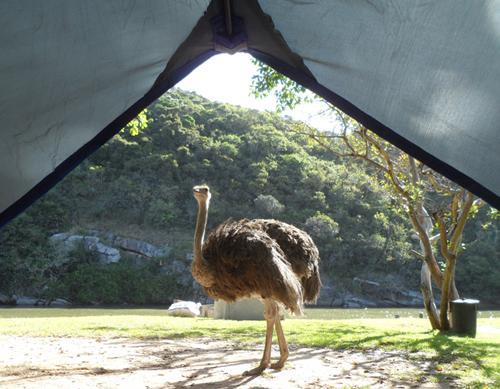 ostrich at Areena Riverside Resort