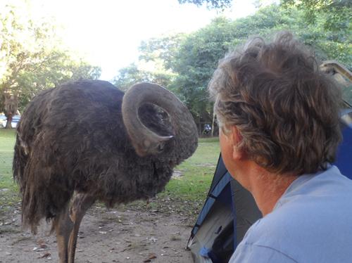 ostrich at Areena