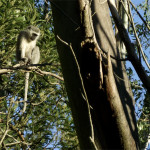 Animals on the Farm - Wansley Farm Monkey - a member of Lizzie's hated Grey People in the Air