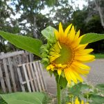 sunflowers and sunflower seeds